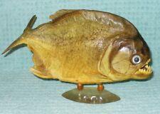 "Real Dried Piranha Fish Mount Taxidermy Specimen 9""+"