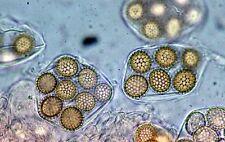 Black summer truffle spores / spawn / mycelium in soil (100g)