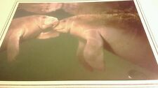 Manatee Nuzzle Animal Photo Print 8x10 New Matted HQ Gift Sealed