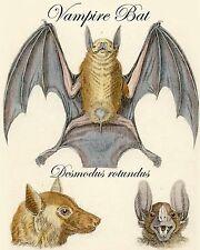 Victorian Bat Art Print 8 x 10 - Biology - Animals - Halloween - Goth - Horror
