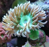 Live Coral Robbie's Corals Green Duncan Coral single head LPS