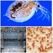 Moina eggs! Starter culture. EASY. Like Triops/brine shrimp/ Daphnia aquarium