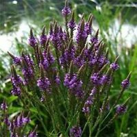 "1 x Violet Verveine plante vivace en 9 cm pot Verbena officinalis /""Bampton/'"