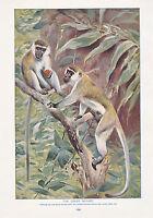 1910 Naturale Storia Double Sided Stampa ~ White-Headed Scimmietta Gibbone/Verde