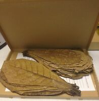 Seemandelbaumblätter ~50 XXL ~25cm (=150Gramm) ☝✈ Catappa Leaves TopQualität ★