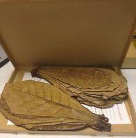 ★★★ 50 XXL - Seemandelbaumblätter / Catappa Leaves 20-30cm ★★★ TopQualität ★★★