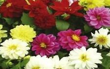 Dahlia Delight Mix Seeds 6 Colours Dwarf Perennial Good Cut Flower Easy to Grow