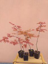 Acer palmatum Deshojo, Acero rosso, giapponese, pianta, ornamentale e giardini