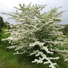 5 English Hawthorn Tree Seeds - Crataegus Laevigata