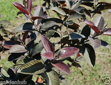 Live - (RED GUAVA) - Hybrid - Sweet Fruit - 1 Healthy Plant - Pack In 1 PoT