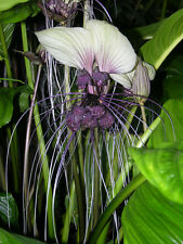 Tacca Nivea - White Bat Flower - Rare Tropical Plant Tree Seeds (5)