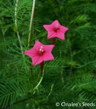24+ Rose Pink Cypress (Hummingbird) Vine Seeds, Ipomoea quamoclit, Ship from Usa