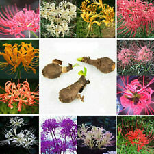 5pcs Bulbs Lycoris Radiata, Spider lily, Lycoris Bulb Seeds Random