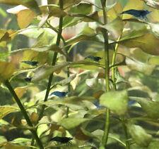 8 Blue Velvet Blue Dream Neocaridina Shrimp Mixed-Grade Homebred Freshwater
