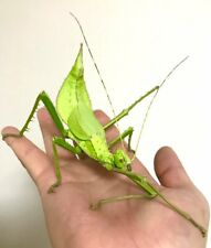 Giant Stick Insect • (Heteropteryx dilatata), 10 EGGS - feeder food