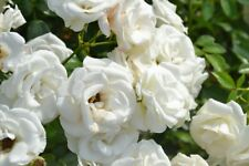 200 Pcs Beautiful White Rose Garden Flower Rosebush Seeds Multiflora Climbing