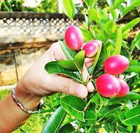 20 Thai Carissa Carandas Seeds,Very Rare Exotic Lime Berry,Karonda Carunda Fruit