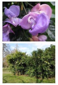 zwei tolle Pflanzen für draußen: Zauberbambus und Schneckenbohne !