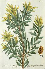 Silberbaumgewächse/protea-brand madera árbol-Weinmann-Kolor. grabado 174