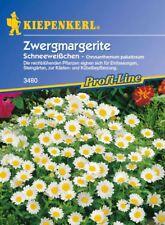 Kiepenkerl - Zwergmargerite Biancaneve Margherita Bianco Crisantemo Dai