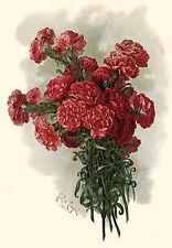 Lawson Pink Carnations by Paul de Longpre (Art Print of Vintage Art) (Floral)