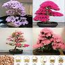 20pcs Japanese Sakura Cherry Blossom Flower Seeds Bonsai Rare Tree Garden Decors