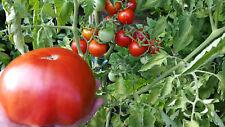 10 graines de tomate rare Rouge de Corse heirloom tomato seeds méth.bio