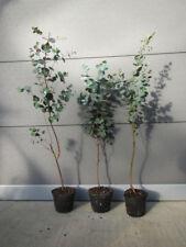 Eucalyptus gunnii - Mostgummi-Eukalyptus - Pflanze 20-40cm - Frosthart