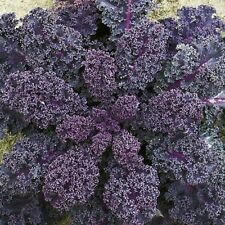 Vegetable Borecole Scarlet Kale Appx 2000 seeds