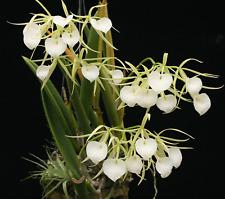Brassavola nodosa species orchid plant