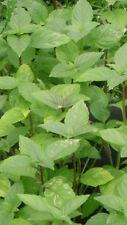 1000 Semillas de Albahaca de Canela (Ocimum Basilicum) bulk seeds