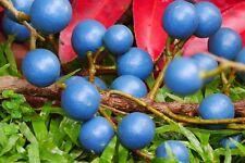 Rudraksha 10fresh seeds for planting Elaeocarpus angustifolius Blue MarbleTree