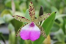 Orchid Cattleya Bc Hippodamia x C. aclandae Tropical Plant