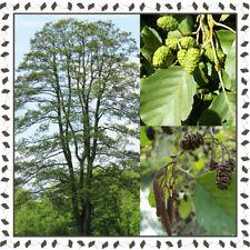 Black/European Alder - Alnus Glutinosa 100+ viable seeds/ package - YourSeedShop