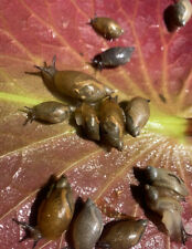 5+ Assorted Live Garden Land Snails Educational Pet Feeder