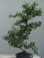 Bonsai Samen Zimmerpflanze Balkon Terrasse Sämereien Saatgut i! FEUERDORN !i
