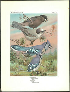 1950's vintage original BLUE JAY BIRD & CANADIAN JAY early offset print