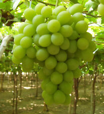 SUGRAONE - SUPERIOR SEEDLESS GRAPES 4 FRESH CUTTINGS