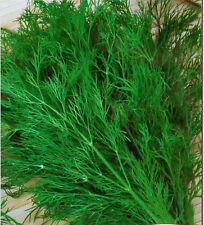 "HERB- Dill ""INTENSE GREEN WITH LARGE LEAVES"" 50 Seeds (HERB SEEDS)"