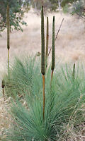 Coastal Grass Tree Seed (Xanthorrhoea fulva) Drought Hardy Evergreen