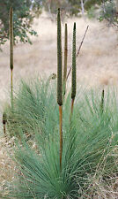 Coastal Grass Tree Seed (Xanthorrhoea fulva) Drought Hardy Evergreen