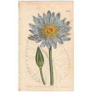Curtis Botanical Magazine antique 1803 hand-colored engraving 552 Blue WaterLily