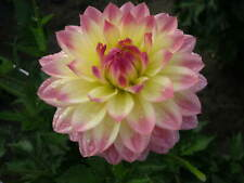"""Dahlia """"SAILOR'S WARNING""""1 tuber/bulb WATER LILY type #151"""