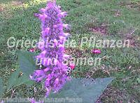 🔥🌿 Purple Giant Ysop * Agastache* winterhart* 50 Samen