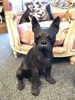 Bronze Boston Terrier