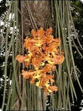 Oncidium stacyi species Orchid Plant