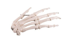 3B Scientific A40L Left Hand Skeleton Wire Mounted Anatomical Model Anatomy