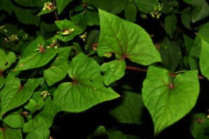 Tatar Buckwheat - Lifago - Fagopyrum tataricum - 50+ seeds - Semillas - Graines