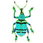 Eupholus schoenherri ONE REAL WEEVIL BEETLE BLUE GREEN INDONESIA