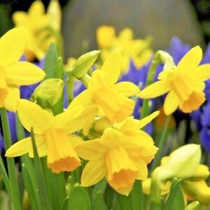 Daffodil Bulbs Tete a Tete Dwarf Spring Flowering Narcissus